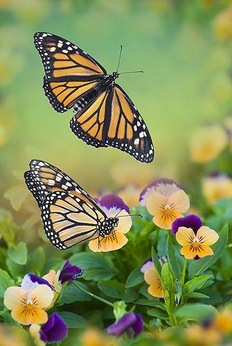 ~~Monarch Butterflies by Gail Shumway~~: