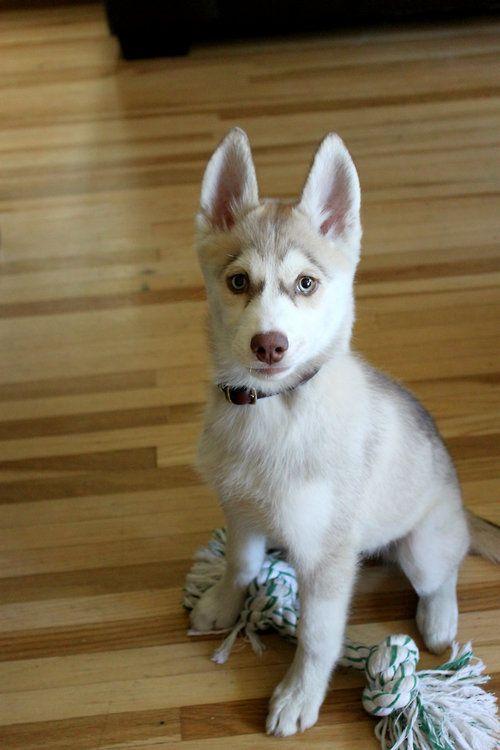 My handsome boy Atlas, 13 weeks, the day after we got him.