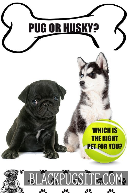 Pug Vs Husky Which Dog Is The Best For Your Family Pugs Pug