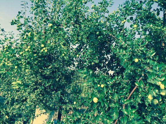 Hünnap Ağacım Bahçemin kuzey köşesinde gelişip hepimizi şaşırtan haliyle