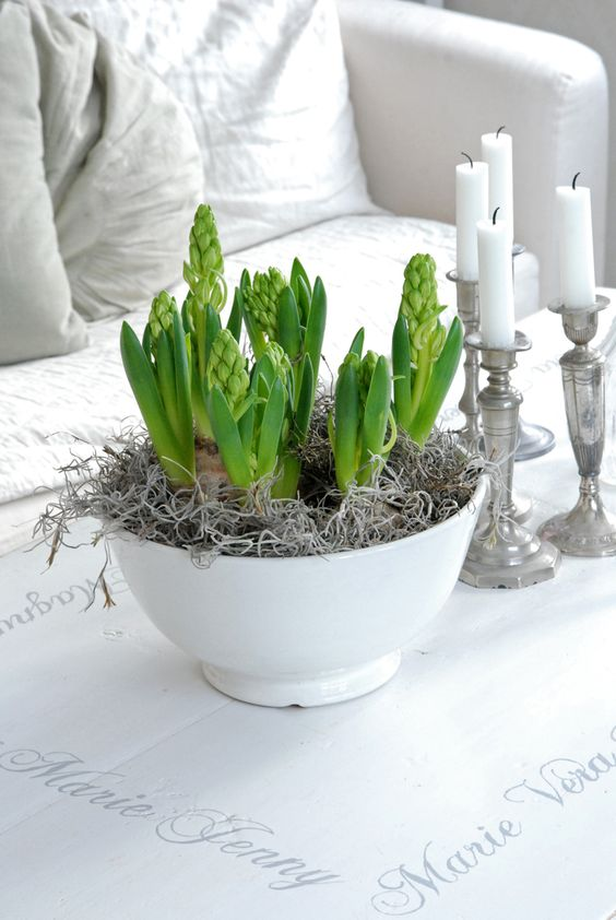 White hyacinth bulbs in a white bowl with frosty sprayed moss and twigs for a winter indoor display.: