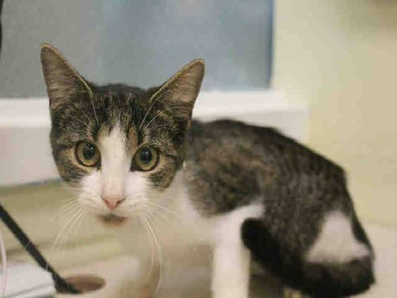 SAFE! TO BE DESTROYED 10/27/14 ** BABY ALERT! Mattie was displaying fearful behavior. Does not seek attention from the assessor, becomes afraid as approach and retreats; i was able to pet and pick her up and no fractious behavior was display ** Brooklyn Center  My name is MATTIE. My Animal ID # is A1018242. I am a female brn tabby and white domestic sh mix. The shelter thinks I am about 6 MONTHS old.  I came in as a STRAY on 10/21/2014 from NY 11207, Group/Litter #K14-199189.