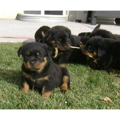 Rottweiler puppies website