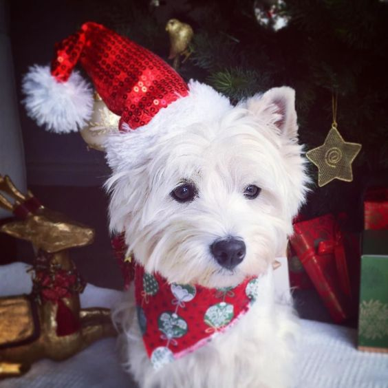 Gud aftanoon fwends! da Cwismas countdown has trooly begun ... I gonna be spendin a lot ov time hangin awound da Cwismas twee.... Juz incase Santa's early!! . Hope yoo haffin a gud day! Be kind to one anovver. . .