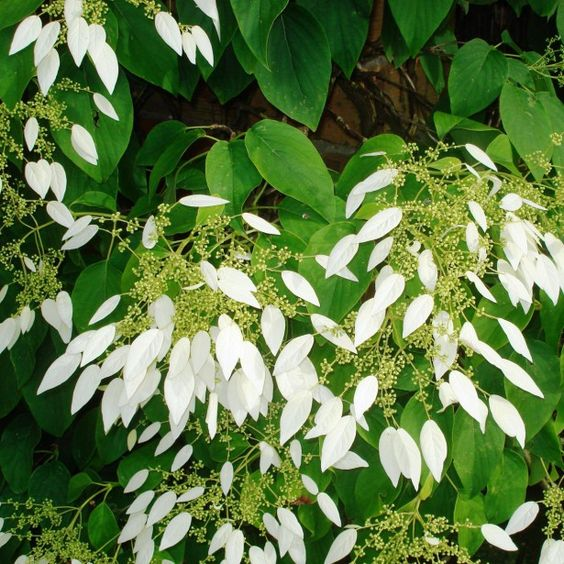 Schizophragma integrifolia-Hortensia grimpant de Chine_ Vivace Floraison Blanc -crème Exposition mi-ombre, ombre Fleurit en Juin à Aout Hauteur à maturité: 800 cm