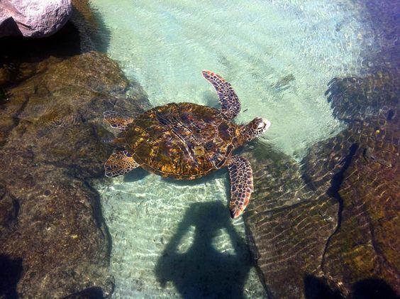 Schildkröten gibt es nicht nur auf den Kapverden. Der Boavistianer bietet auch weltweite Urlaubsziele mit BestPrice Garantie an. Das bedeutet, jeder der eine Reise sucht, wird auch fündig. Heute der Tipp nach Hawaii, Oahu, Honololu, Waikiki. Ein ganz besonderes Urlaubserlebnis, einmal auf Hawaii, wer träumt nicht davon ? Über uns ist es jetzt möglich den Traum zu erfüllen und dieses Paradies zu buchen. http://www.boavistianer.de/oahu-honololu-waikiki-usa-hawaii-urlaub.php