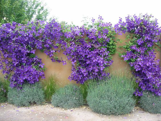 Clematis Blossoms For All to Enjoy | Concrete walls, Fence ...