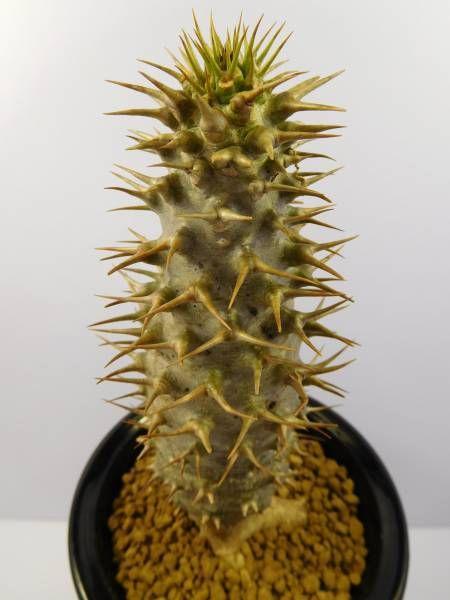 Lost Pachypodiumアンボンゲンセ