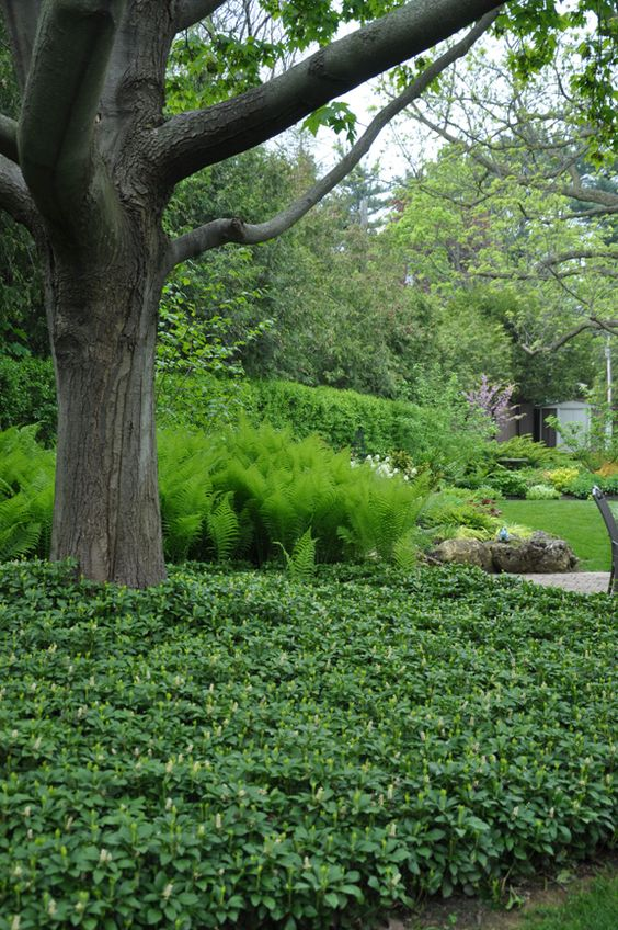 Mass plantings -- more impact, less maintenance. Photo via Three Dogs in a Garden. Pachysandra and ostrich fern.