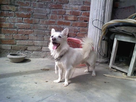 Post free ads pakistan Russian Dog for Sale in Cheap Price ...