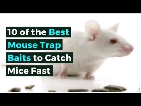 10 Of The Best Mouse Trap Baits To Catch Mice Fast Best Mouse