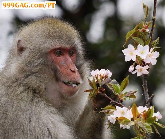 Macaco Florzinha