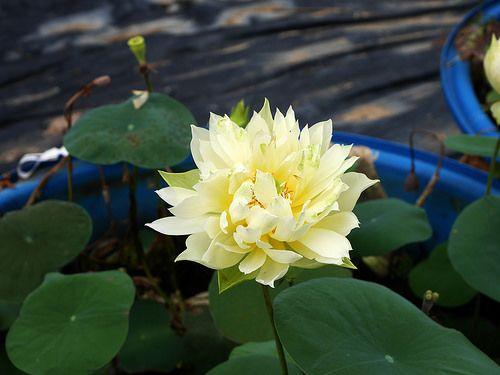 Nelumbo Nucifera Si Huang Ling Yang Lotus Wahgarden 018 Med Bilder