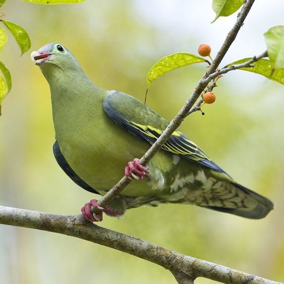 Thick-billed Pigeon (female) - Treron curvirostra  Phuket, Thailand.