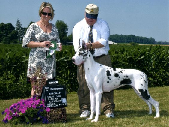 Pin By Vulpine Great Danes On Dane Pictures From Others Great