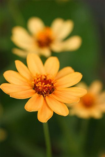 Click the picture to view a slideshow of beautiful zinnias!  #examiner #flowers #flowergardens