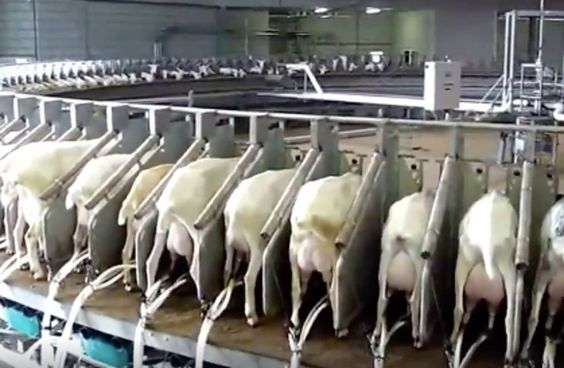 Goat milk? Goat cheese? This video exposes the cruel realities of the goat dairy industry, and reminds us that no beings deserves to be treated like an object.
