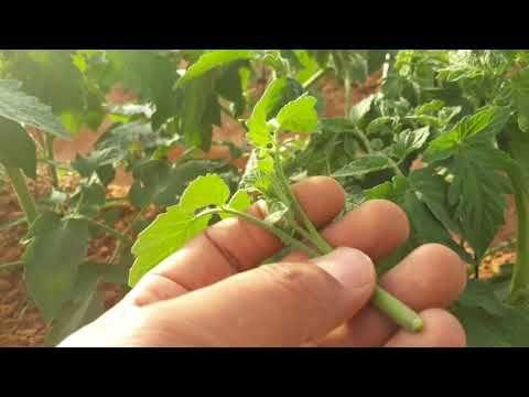أعتبارات يجب الأنتباه اليها عند زراعة الطماطم الصيفى شاهد للأهمية Youtube Herbs Plants