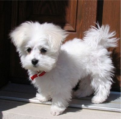 Maltese Puppies For Free   most popular searches are free classifieds free teacup yorkies dogs ...