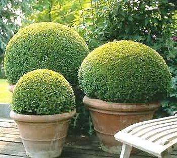 Buxus sempervirens taill en boule buis boule p pini re plantes jardinerie vente en ligne - Vente plante en ligne ...