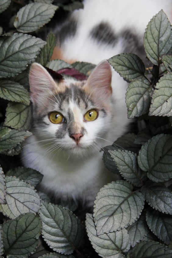 A beautiful cat looks out from among the leaves.