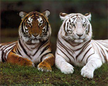 dos ejemplares de tigres el tigre de bengala y el tigre blanco hermosas criaturas que lamentablemente estan en peligro de extinción