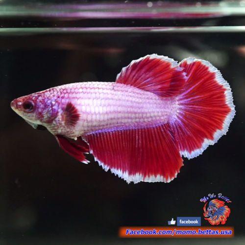 Big 1 6 034 Body Live Betta Fish Female Hot Pink Banding Halfmoon Hm 1138 Betta Betta Fish Fish