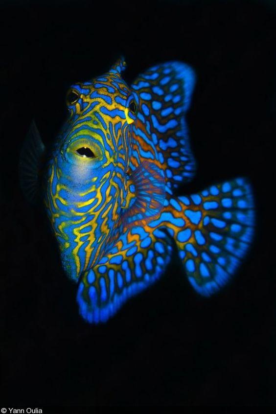 Triggerfish by Yann Oulia