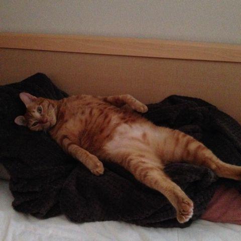 お昼寝中、シャッター音で起きちゃいました(^_^)a ぴろこ - ちょび(Cat) | PetSmile