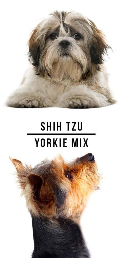 Shih Tzu Yorkie Mix A Complete Guide To The Popular Shorkie In