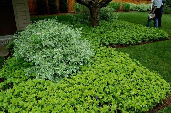 plantes d'ombre basses à feuilles vertes