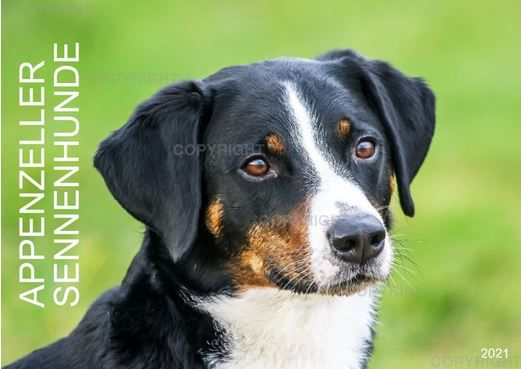 Der Appenzeller Sennenhund Ist Temperamentvoll Und Sehr Lebhaft Er Ist Sehr Lernfahig Lernt Schnell Und Baut Zu Seiner Fa In 2020 Sennenhund Hunde Rassen Hunderassen