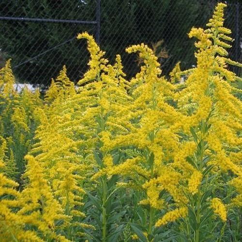 Goldenrod Wildflower Seeds Solidago 100 Seeds Native Plants Georgia Gardening Yellow Wildflowers