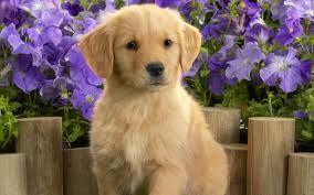 yellow lab puppies >>>