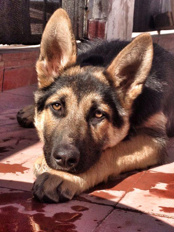 GSD Puppy-Lomu