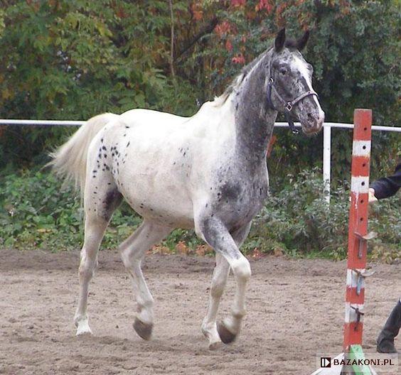 black pintaloosa - Polish Half-Bred gelding Eskulap