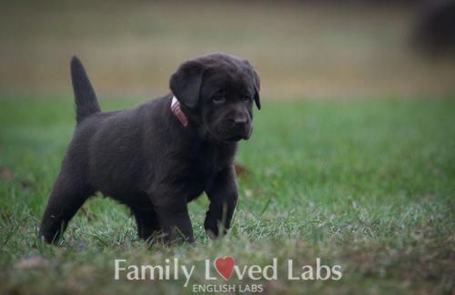 English Chocolate Lab Puppy For Sale Stocky Lab Puppy Chocolate Labrador Puppies For Sale Labrador Puppies For Sale English Lab Puppies Labrador Puppy
