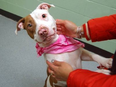 NAME: STACY AGE: ABOUT 2 YEARS OLD BREED: PIT MIX WEIGHT: 42 LBS. LOCATION: DEPTFORD, NJ - Rebound Hounds Res-Q