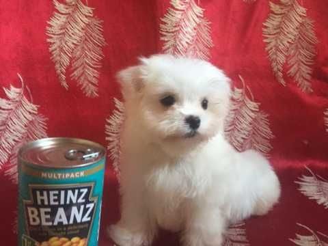 Beautiful Kc Reg Maltese Puppies Hyde Greater Manchester Pets4homes Maltese Puppy Puppies Tiny Dog Breeds