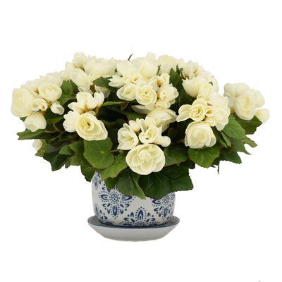 Canora Grey Begonia Flowering Plant In Pot Flower Colour White In