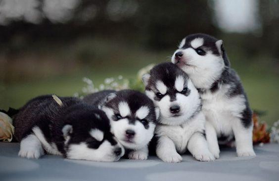 Adorables cachorros de Husky Siberiano (2)