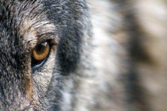 Aujourd'hui je rencontre à nouveau ma colère. Je sens bizarrement que cette colère me connecte à une puissance en moi…La louve montrant les crocs.