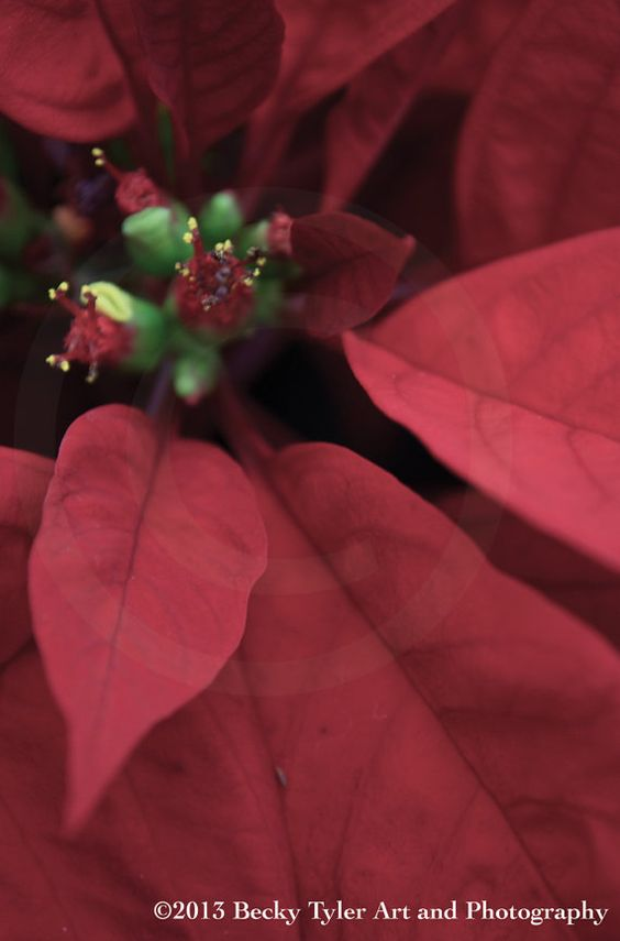 Poinsettia Fine Art Photo Print by BeckyTylerArt on Etsy, $20.00 #christmas