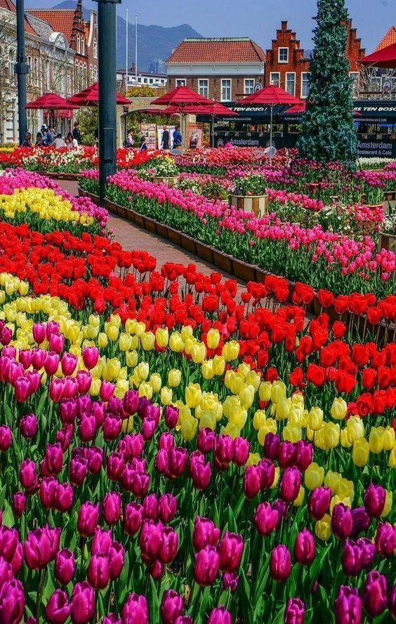 Tulipa Humilis Is A Species Of Flowering Plant In The Lily Family Found In Syria Lebanon Israel Turkey Ir Schoner Blumengarten Tulpen Garten Schone Blumen
