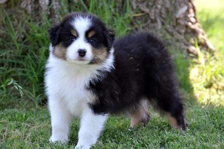 We Breed Quality Akc Australian Shepherd Puppies We Go Above And Beyond To Breed To The Australian Shepherd Standards Australian Shepherd Honden Hondjes Dieren