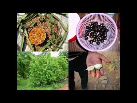 Medicinal Rice P5O Formulations for Paspalidium Excess: Pankaj Oudhia's ...