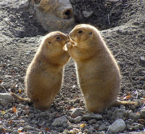 Prairie dogs in love.: