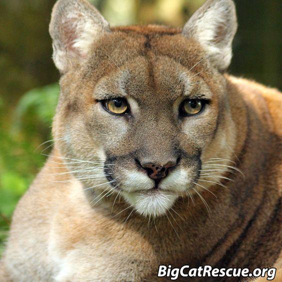 Reise Cougar - BigCatRescue.org/Join