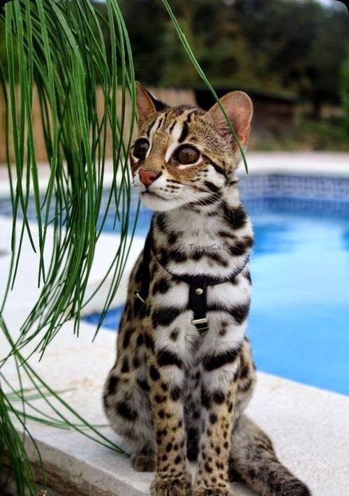 Savannah cats are incredibly beautiful. They are the result of breeding a standard domestic cat with the serval, an African wild cat.