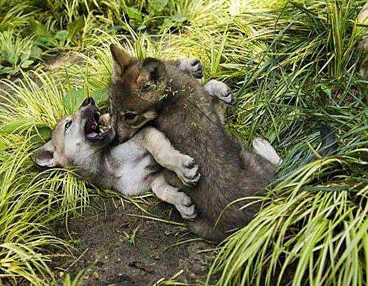 baby wolf   baby wolf